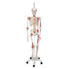 Модели скелетов