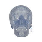 Модель черепа, прозрачная, 3 части,A20/T