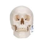 Модель черепа, 3 части,A20