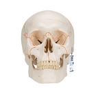 Модель черепа человека, пронумерованная, 3 части,A21
