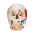 Модель черепа человека, раскрашенная, с открытой нижней челюстью, 3 части,A22/1