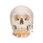 Модель черепа человека, с открытой нижней челюстью, 3 части,A22
