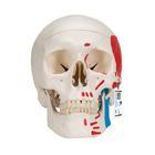 Модель черепа человека, раскрашенная, 3 части,A23
