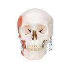 Функциональная модель черепа человека с жевательными мышцами, 2 части,A24
