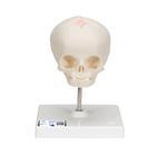 Модель черепа плода, натуральный размер, 30-я неделя беременности, на подставке,A26