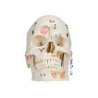 Модель черепа человека класса «люкс», 10 частей,A27