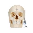 Модель черепа человека, материал BONElike™, 6 частей,A281