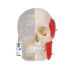 Модель черепа человека, комбинированная, материал BONElike™, 8 частей,A282