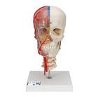 Модель черепа человека, комбинированный, с мозгом и позвоночником, BONElike™, 8 частей,A283