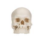 Модель черепа человека, микроцефал,A29/1