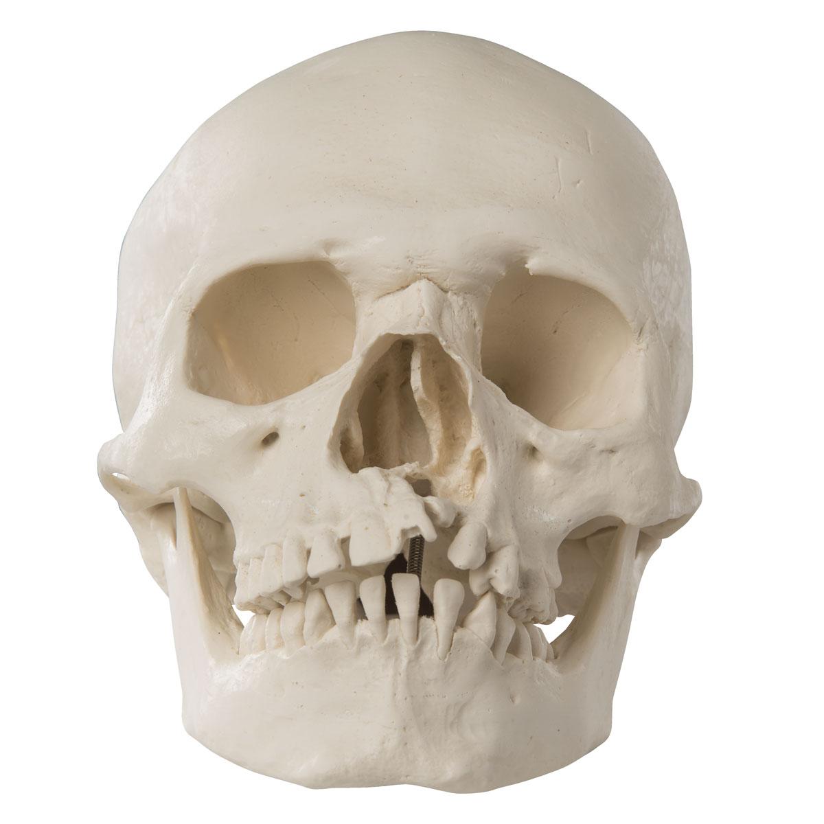 Картинки челюсти черепа