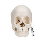 Модель черепа человека, разборная, 22 части,A290