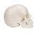 Модель черепа человека, разборная, 22 части - 3B Smart Anatomy, 1000068 [A290], Модели черепа человека (Small)