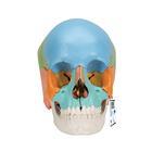 Модель черепа человека, разборная, цветная, 22 части,A291
