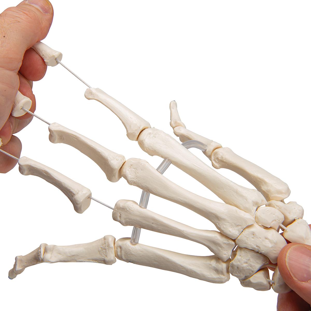 Картинка костей запястья